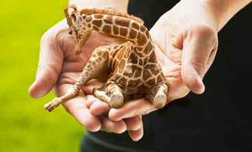 If You Want To See More Photos Of The Petite Lap Giraffe Here Is The  Official Site.