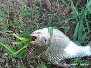 umpan cara mancing ikan tawes
