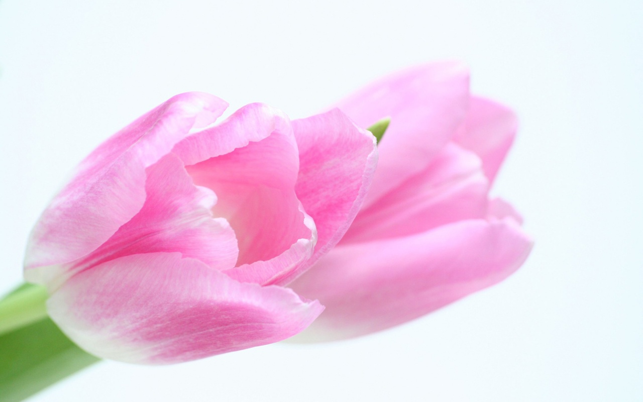 Twin Roses    Top Wallpapers Download .blogspot.com