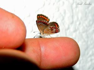Mariposa  dedo