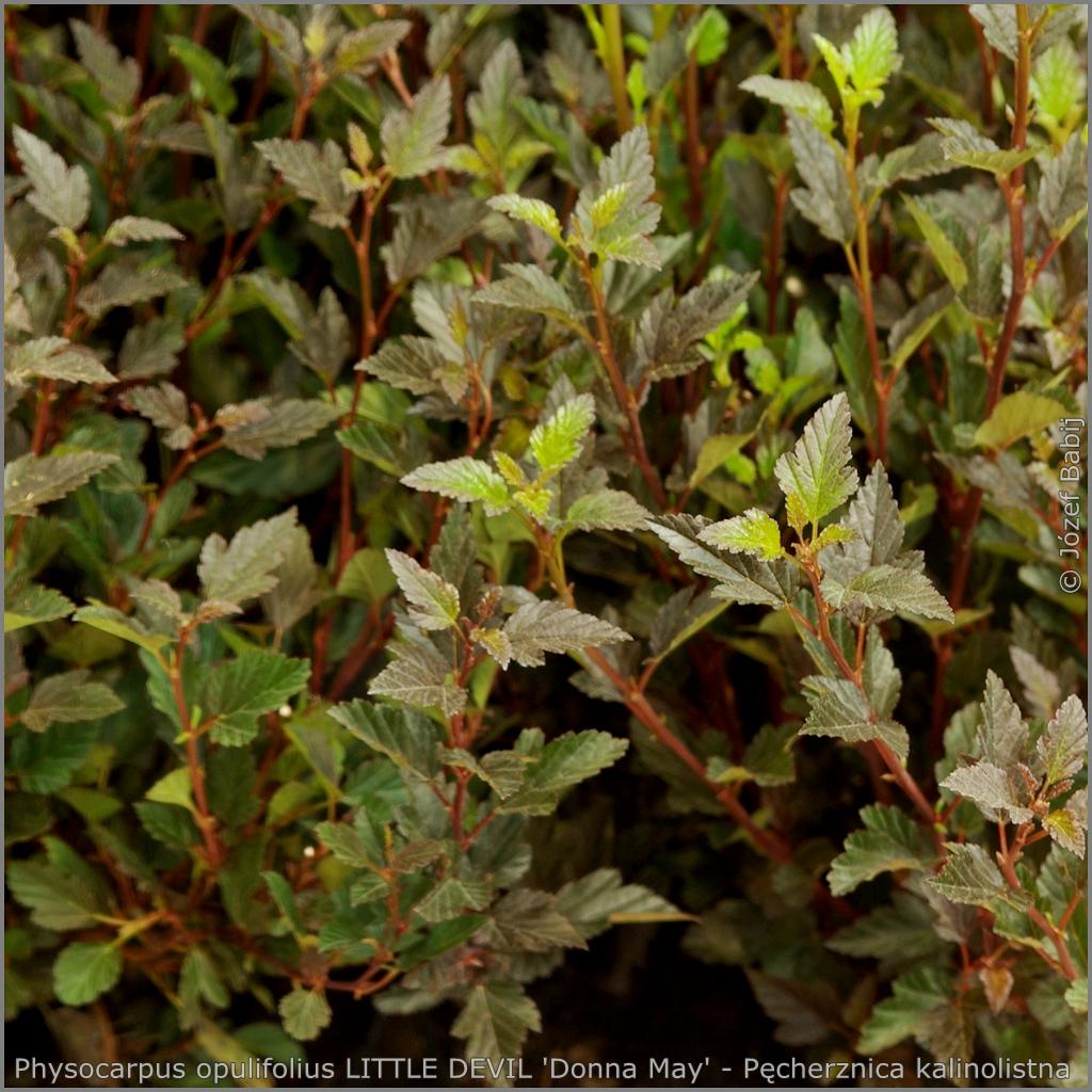 Physocarpus opulifolius LITTLE DEVIL 'Donna May' - Pęcherznica kalinolistna LITTLE DEVIL 'Donna May'