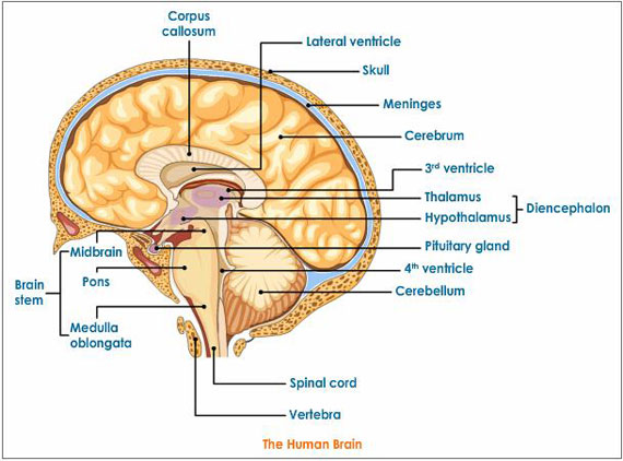 Brain And Parts3