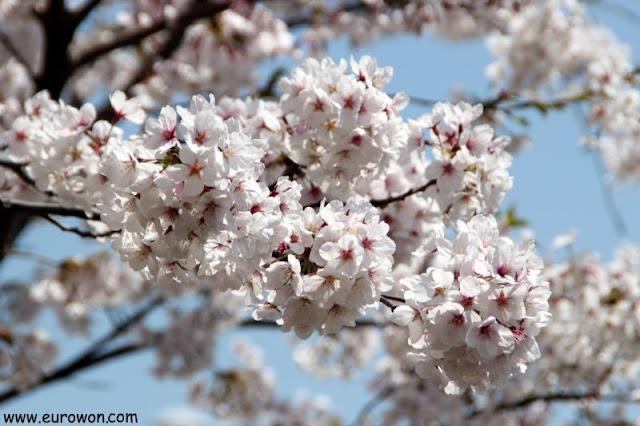 Flores de cerezo en corea del Sur
