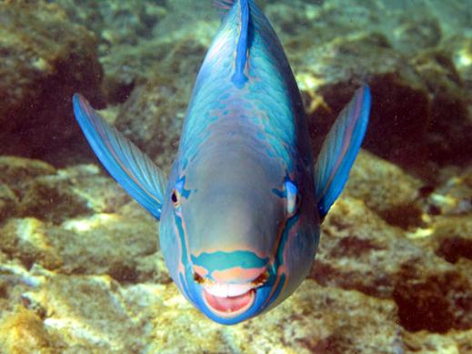 Marine life queen parrotfish for Old wife fish
