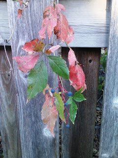 virginia creeper with red (pink?) leaves