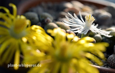 White Lithops julii flower with two yellow Lithops lesliei flowers in the foreground, picture date 2014-09-30