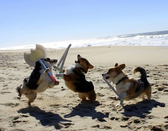 Epic Corgi Funny Battle