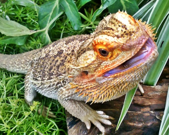 What Are Some Of The More Mon Diseases Pet Bearded Dragons