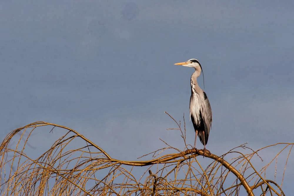 Grey Heron, in tree, Loughton Valley Park, Milton Keynes