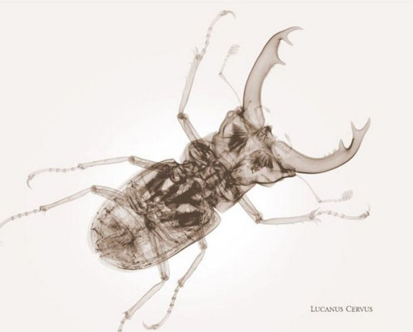 fotografia,rayos x,photographs,x rays,nick Veasey,black,white,interior,insecto,insect,lucanus cevus