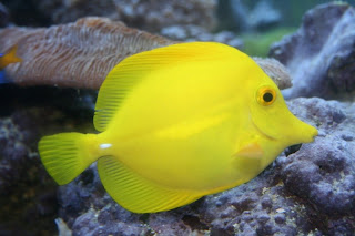 Yellow Tang Fish image