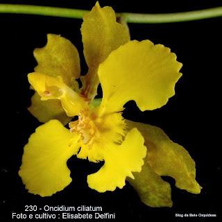Oncidium ciliatum; Oncidium ciliolatum Oncidium fimbriatum; Oncidium subciliatum; Oncidium barbatum var. limbatum ;Oncidium micropogon var. bahiense; Oncidium blossfeldianum; Oncidium bahiense ; Oncidium barbatum subsp. limbatum