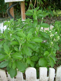 Stevia in Pot