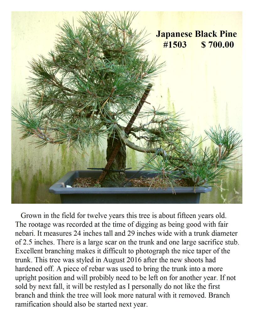 Japanese Black Pine #1503