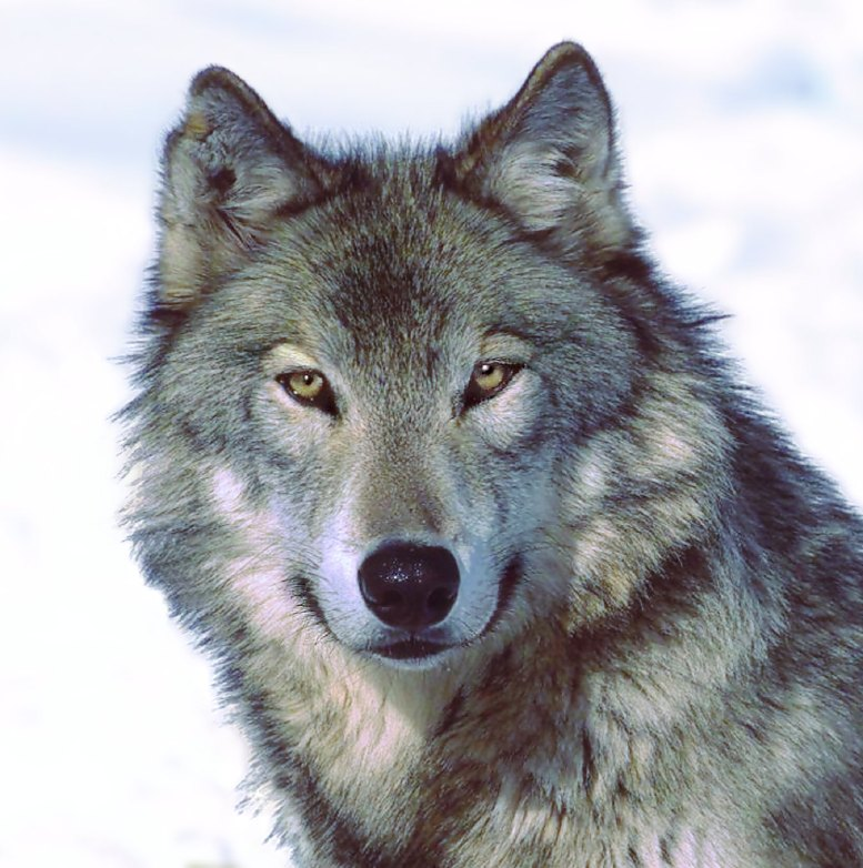 Numbers that the states are completely capable of managing wolves