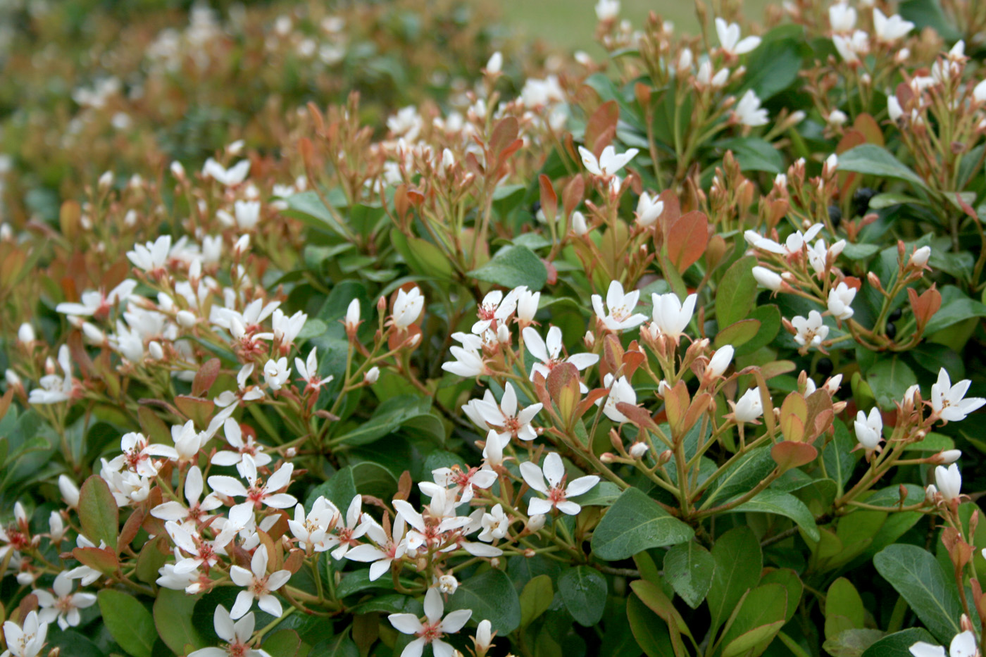 Franklin County Ms News Springtime Blooming Indian Hawthorn Shrubs Available