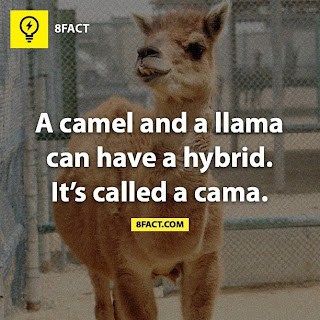 A camel and a llama can have a hybrid. it's called a cama.