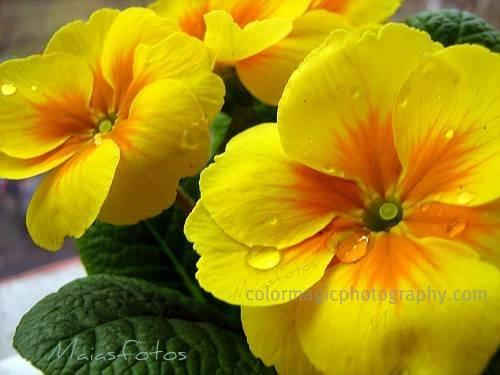 Yellow primula-primrose macro