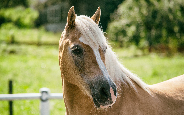 Haflinger Horse Breed