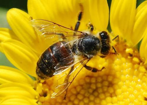 gambar hewan - foto lebah
