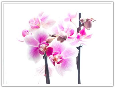 Rosa orkidé i ljuset