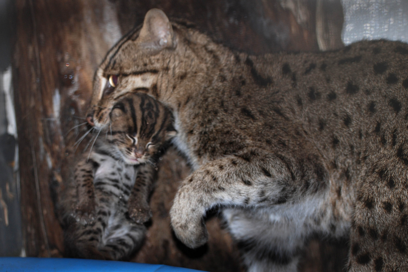 white wolf rare fishing cat born at isle of man wildlife
