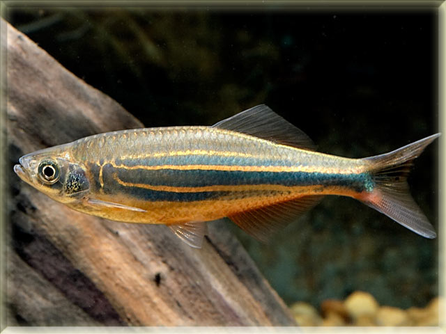 Freshwater fish list beginning with g animals name a to z for Giant danio fish
