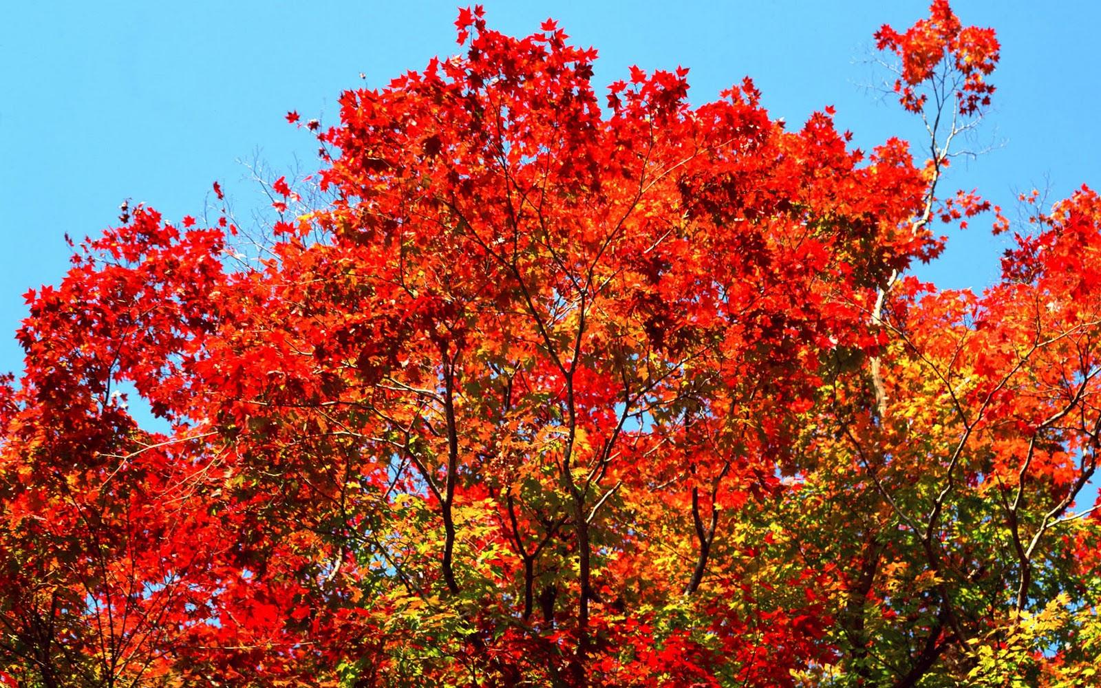 Rboles de oto o autumn trees fotos e im genes en for Arboles de hojas perennes en chile