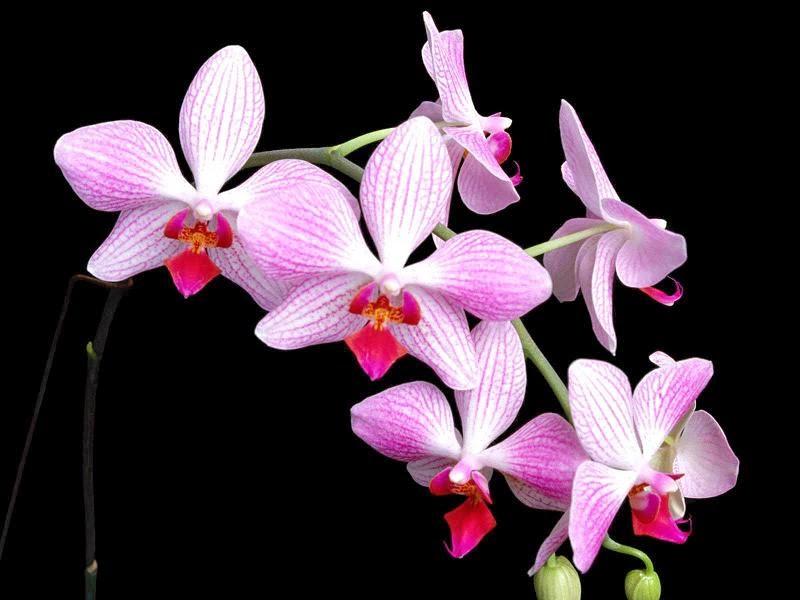 hình nền máy tính hoa phong lan