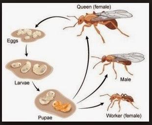 """<src img=""""siklus hidup semut.jpg"""" alt=""""siklus hidup semut rang rang"""">"""