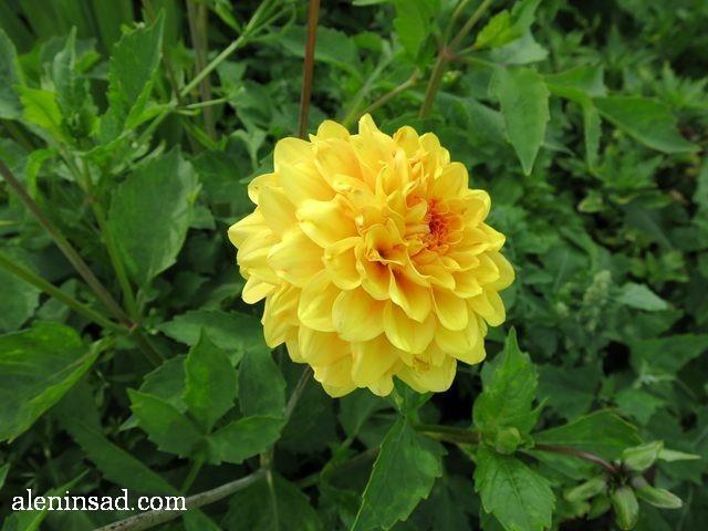 георгин, Sunny boys, Dahlia, далия, аленин сад, цветы, июль