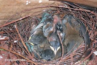 Filhotes de ave no ninho