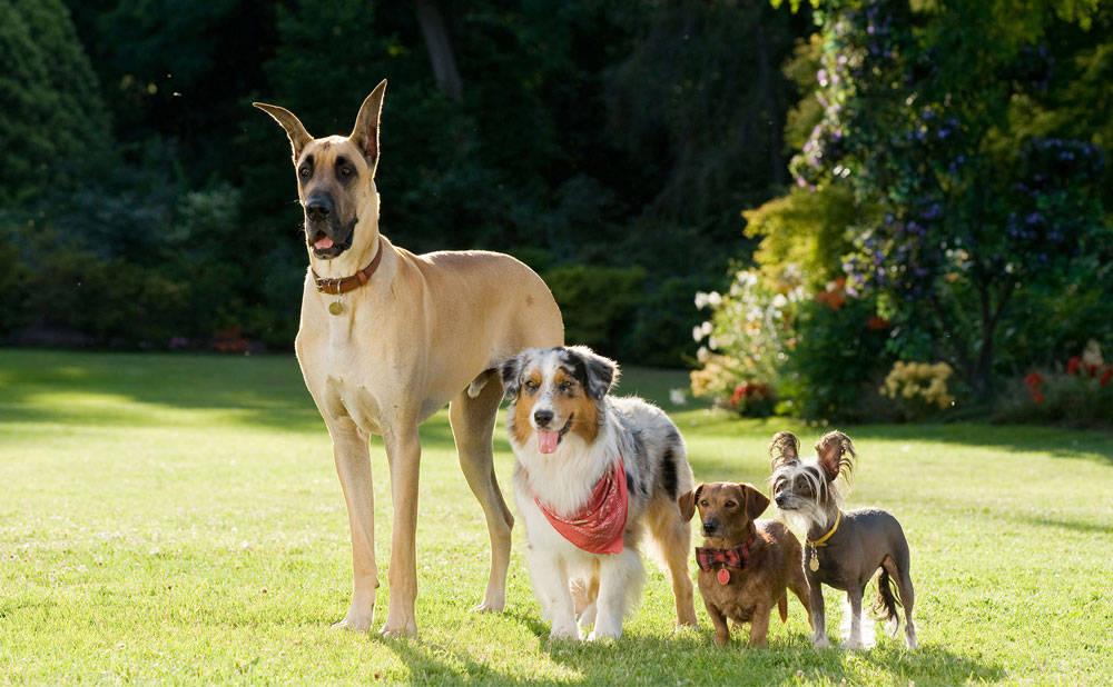 Lassie Dog Breed - Dog...