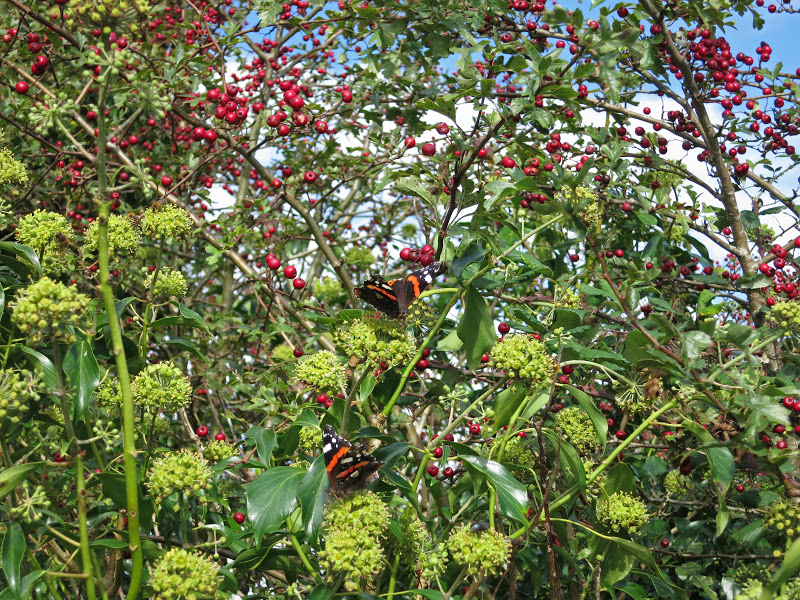 Red Admirals on Ivy Flowers in front of Hawthorn Berries (Haws)
