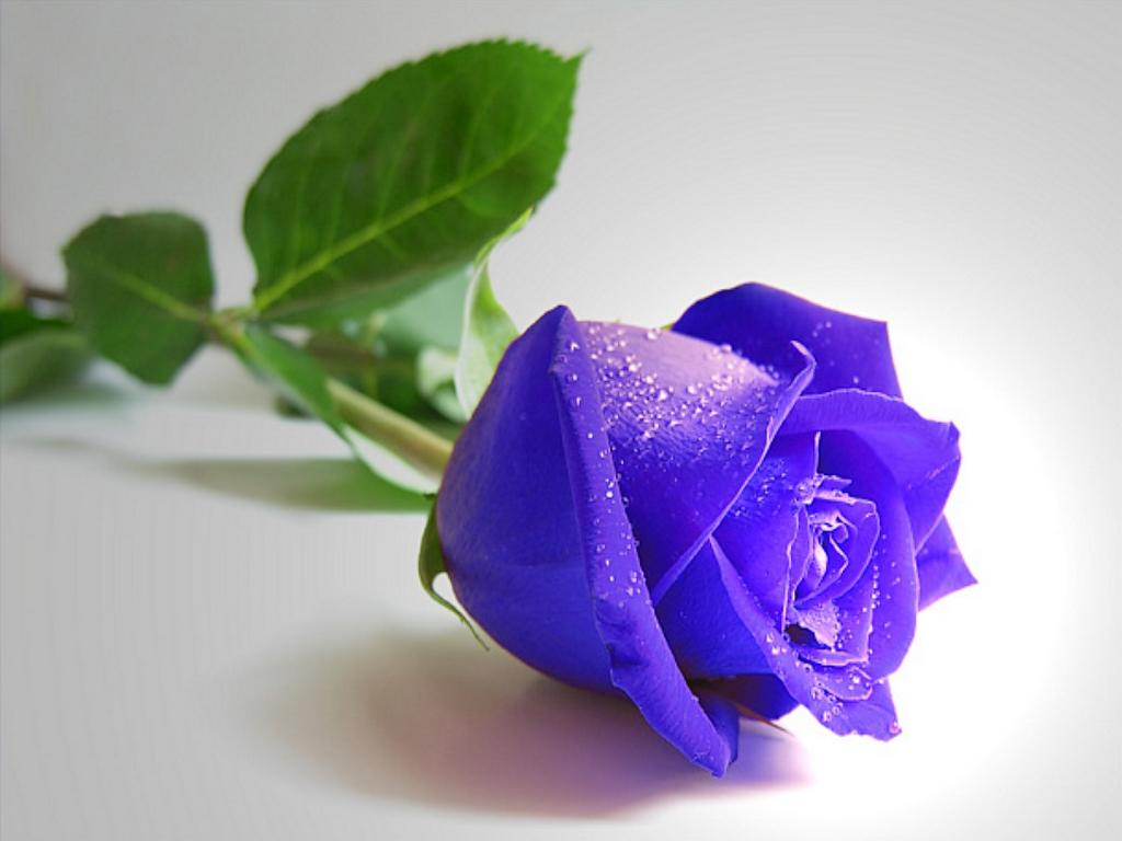http://4.bp.blogspot.com/-N6FiH8Nkd-4/TtIJfidd3zI/AAAAAAAABFA/j_SjME7avt8/s1600/free-pretty-blue-rose-lying-wallpaper_1024x768_88953.jpg