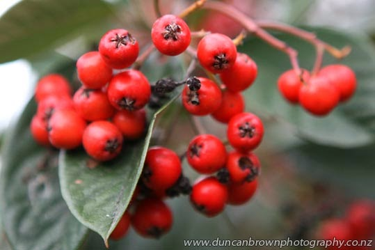 Pyracantha pomes photograph
