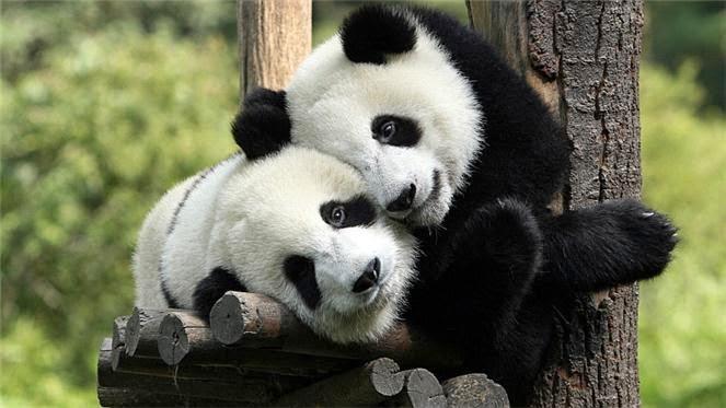 kos panda malaysia, untung rugi bela panda, Fitnah bela panda, politik panda,