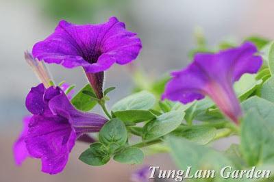 dạ yến thảo, dạ yến thảo rủ, dừa cạn rủ, hoa ban công, hoa chuông, hoa chậu, hoa dạ yến thảo, hoa treo, hoa Tết, hạt giống hoa, phong lữ thảo, phong lữ thảo rủ