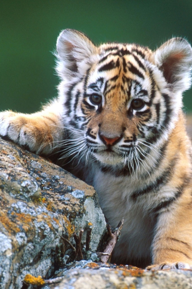 Baby tiger iphone wallpaper - photo#4