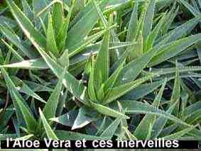Aloe verra un nettoyant du système immunitaire