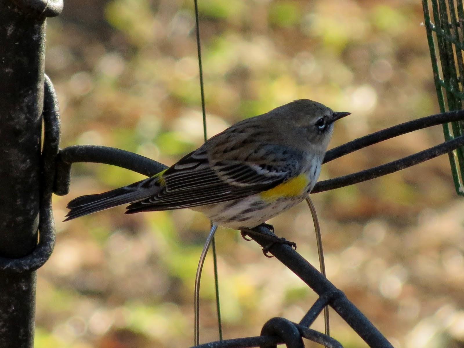 Winter Backyard Birds : BirdsEyeViews Winter 2013 Backyard Birds