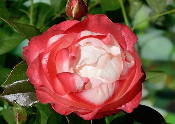 Nostalgie rose сорт розы фото