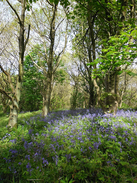 Bluebells photography - Woodland - Clent, Worcestershire