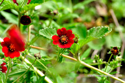 Beautiful red colored flowers in the Valley of Flowers