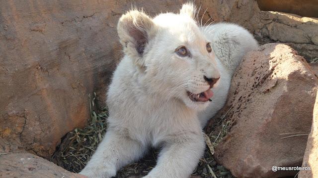 Filhote de leão no Lion Park - Johannesburg