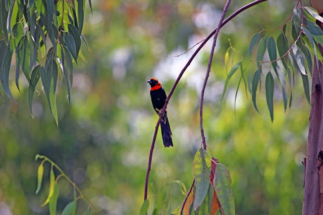 Red-collared Widowbird Ethiopia