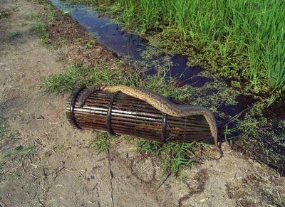 lintah gergasi, perak, ular karung guni, pelik