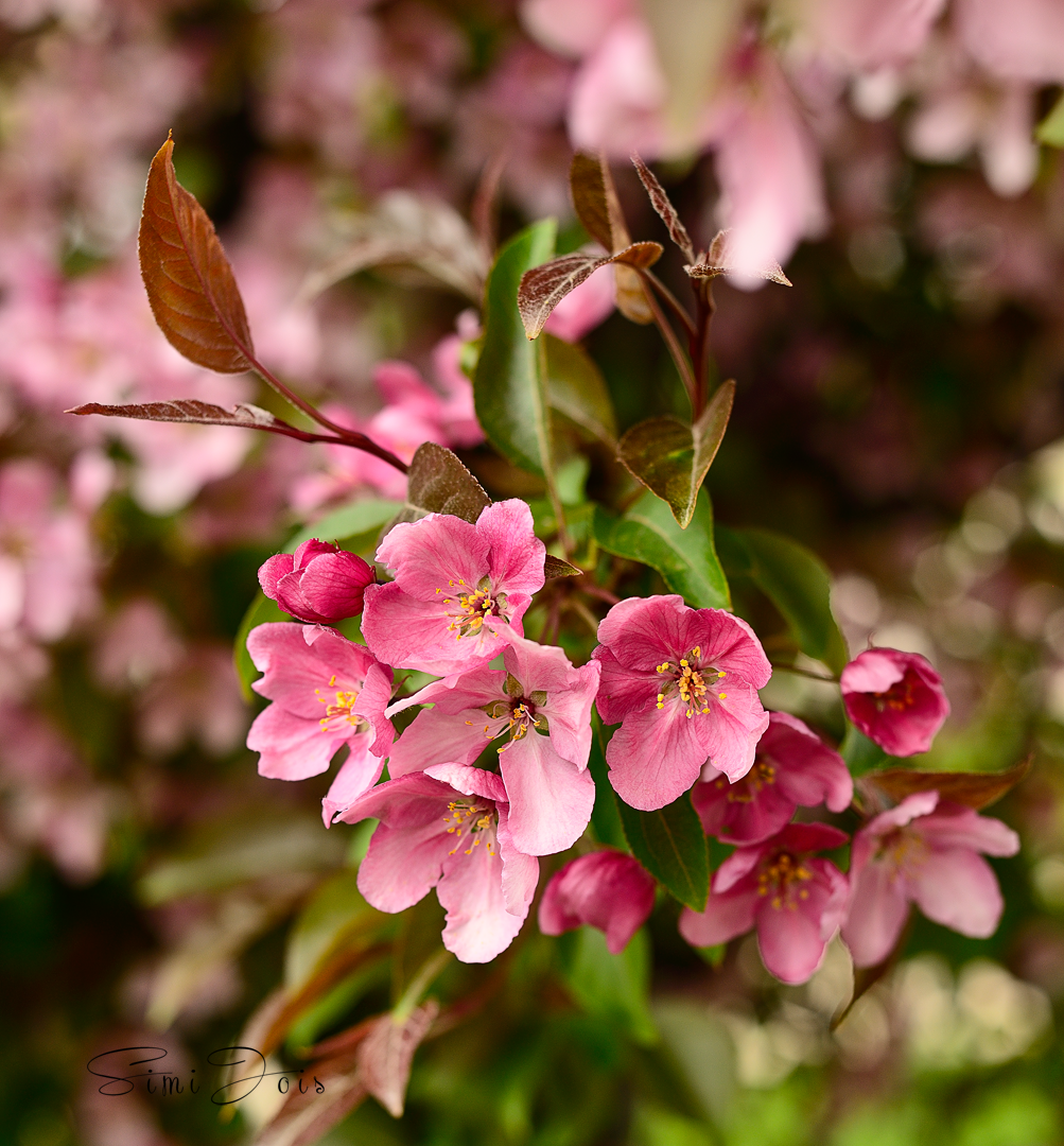 Cherry blossom, Photography, Calendar cover photography, SimiJois