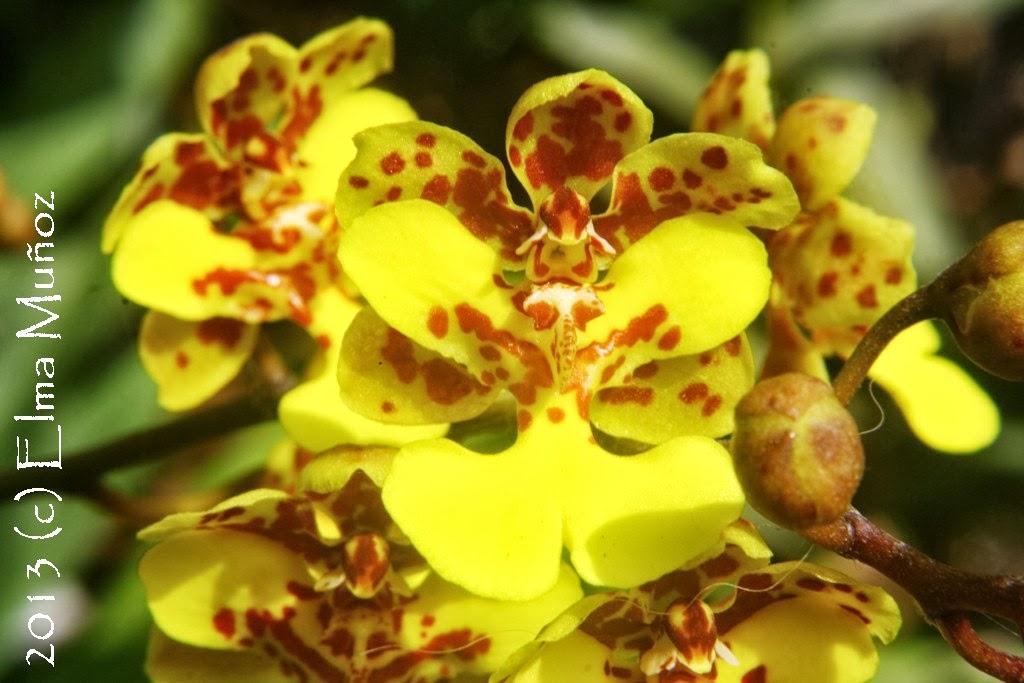 Oncidium cebolleta. Orquideas peruanas