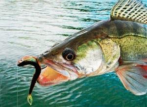Оснастки для ловли судака